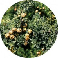 Cipres - Cypress tree